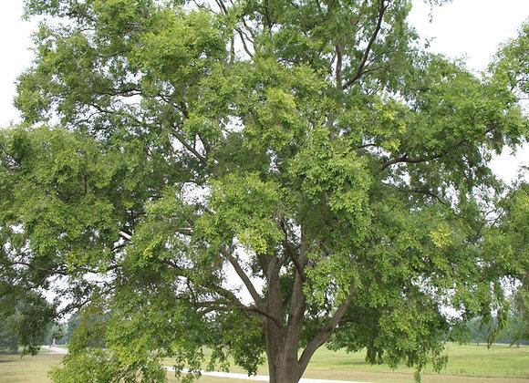 Drake Elm Trees