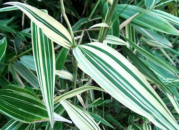 Bi-Color (Running) Bamboo