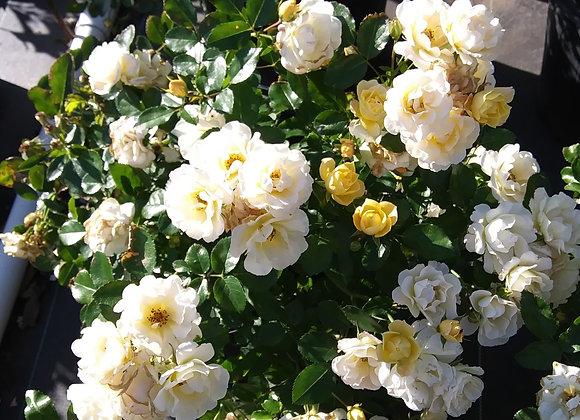 'Popcorn' Drift® Rose