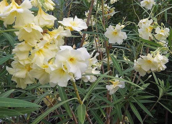Yellow Oleander 'Nerium Luteum Plenum'