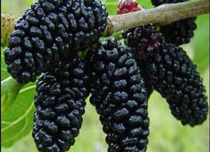 Superberry Black Mulberry Tree