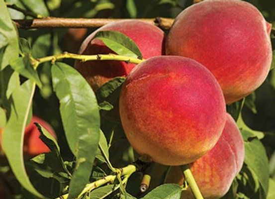 FL King Peach Tree
