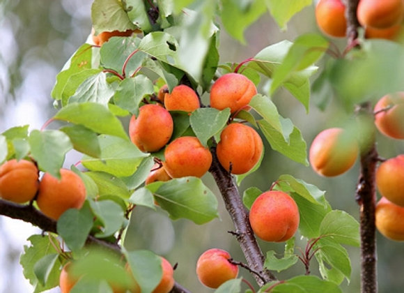 Early Golden Apricot Tree