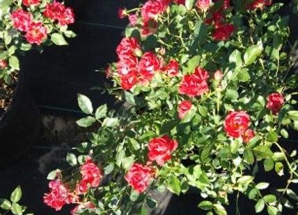'Red' Drift® Rose