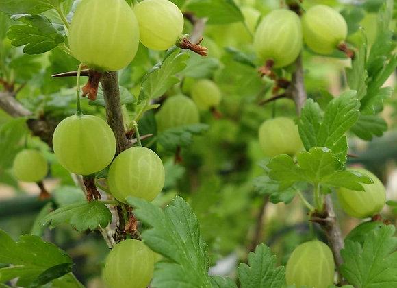Gooseberry (Pixwell)