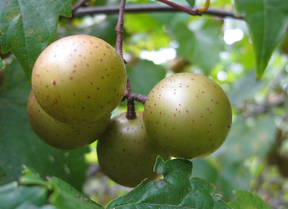 Tara (Male) Scuppernong Grape
