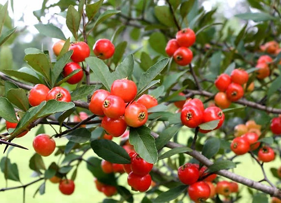 Eastern Mayhaw Tree