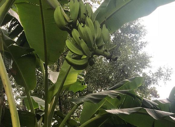 Cavendish Banana Tree