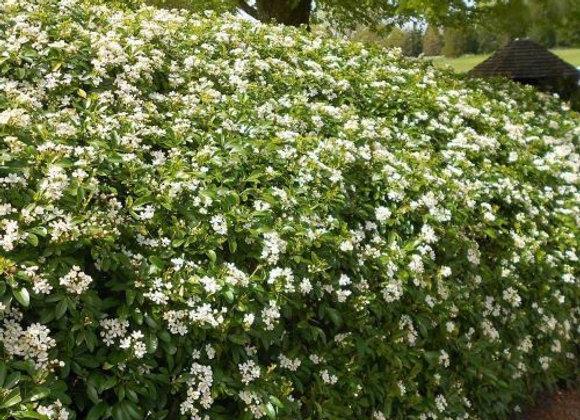'Spring Bouquet' Viburnum