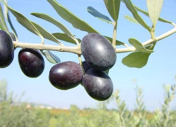 Kalamata Olive Tree (Greek)