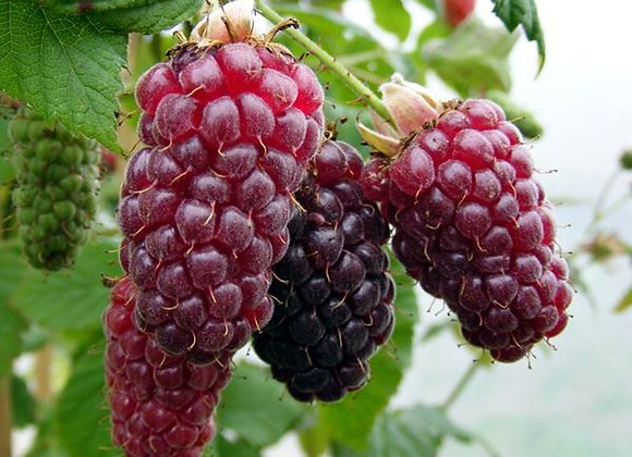 Hybrid Tayberry