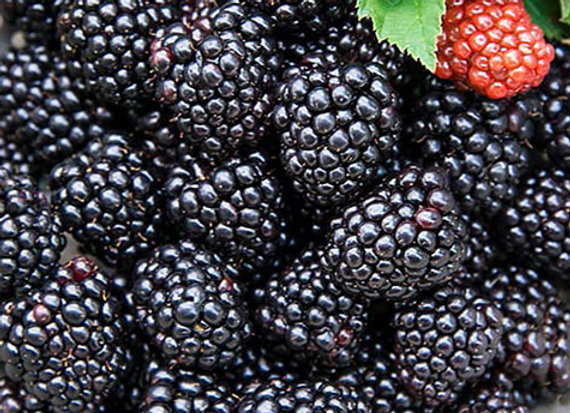 Jewel Black Raspberry