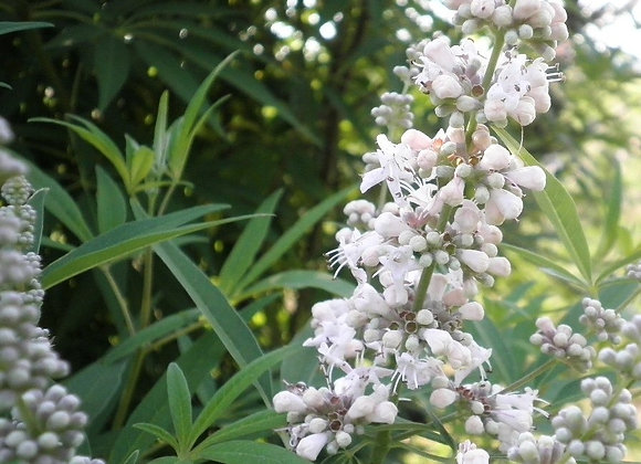 Vitex Chaste Tree (White)