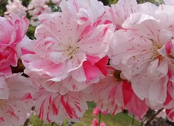 Peppermint Flowering Peach