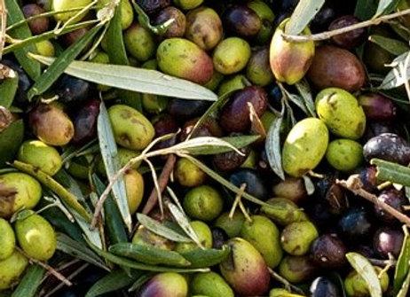 Coratina Olive Tree (Italian)