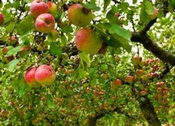 Ein Shemer Apple Tree