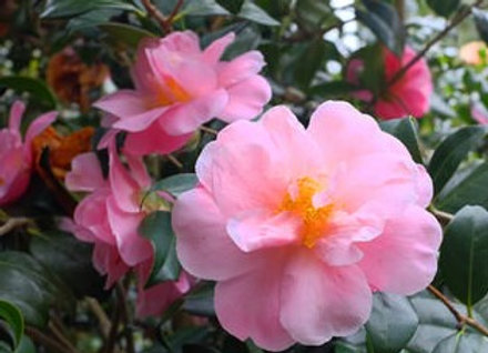'Pink Icicle' Camellia