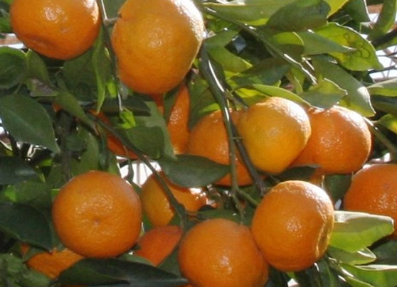 'Saint Ann' Satsuma Tree    ( SHIPPING IN GA. ONLY )