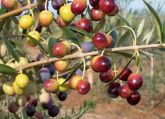 Arbequina Olive Tree (Spanish)