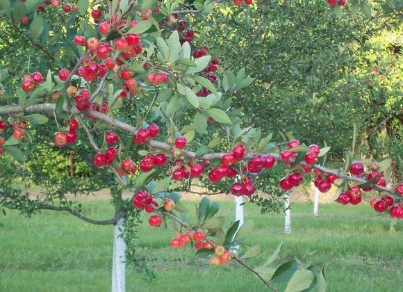 Red Native Mayhaw Tree
