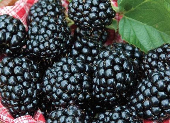 Arapaho Blackberry