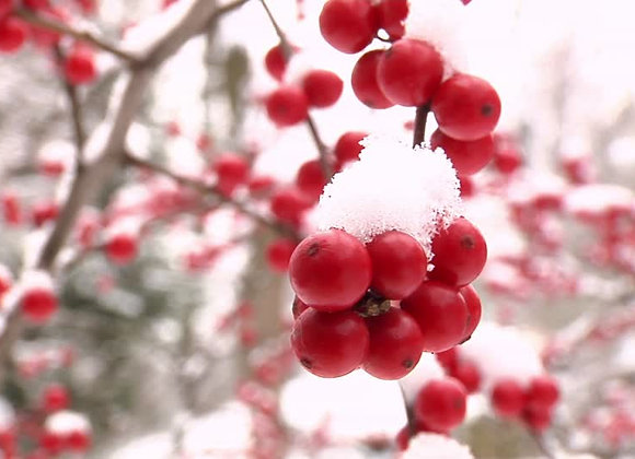 Winterberry Holly