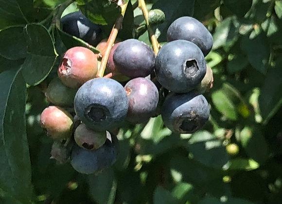 GA Giant Blueberry