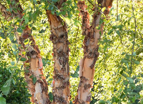 Riverbirch Tree