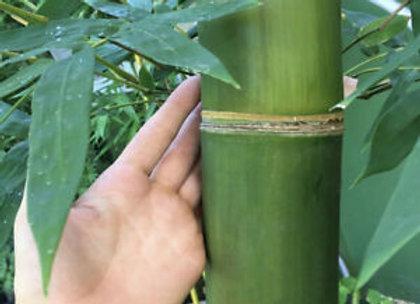 Timber (Running) Bamboo