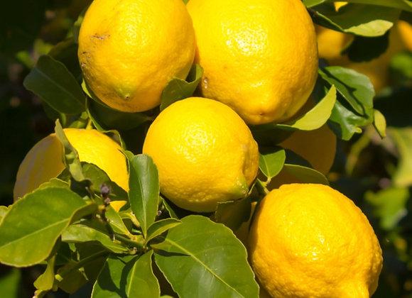 Eureka Lemon Tree    ( SHIPPING IN GA. ONLY )