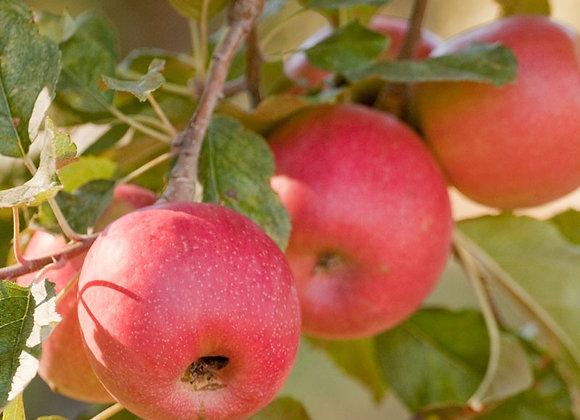 Pink Lady Apple Tree