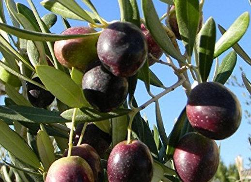 Manzanillo Olive Tree (Spanish)
