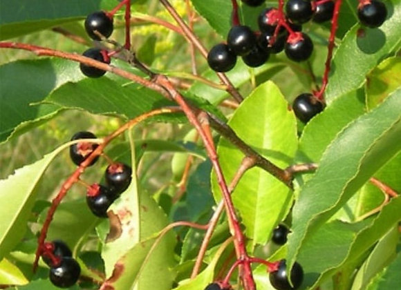 Black Cherry Tree (Native)