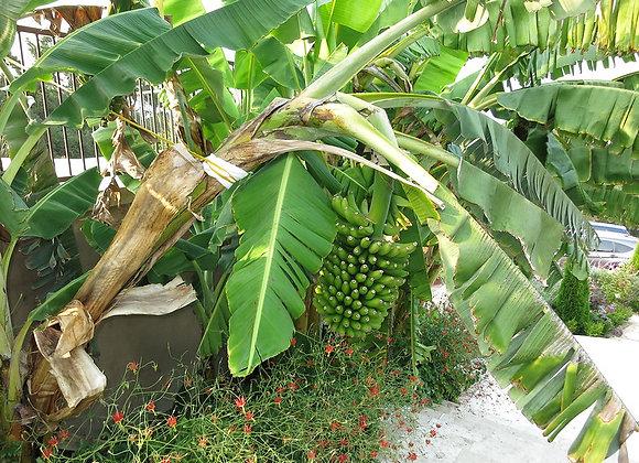 Rajapuri Banana Plant