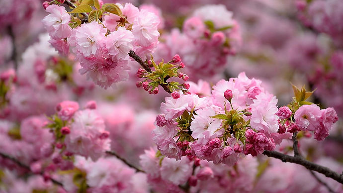 2329-spring-flower-blossom-hd-download-h