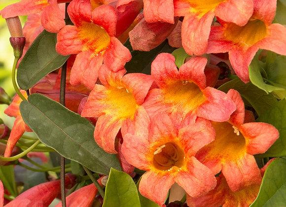 Tangerine Cross Vine