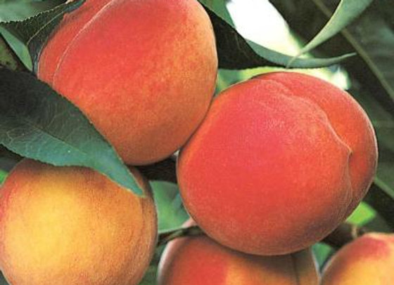 FL Belle Peach Tree