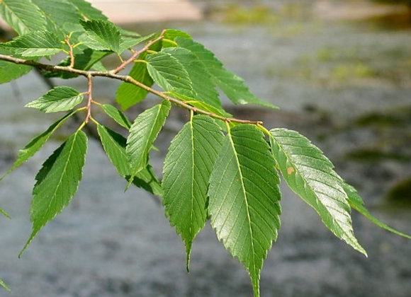 American Elm Trees