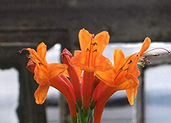 Orange Iris Lily
