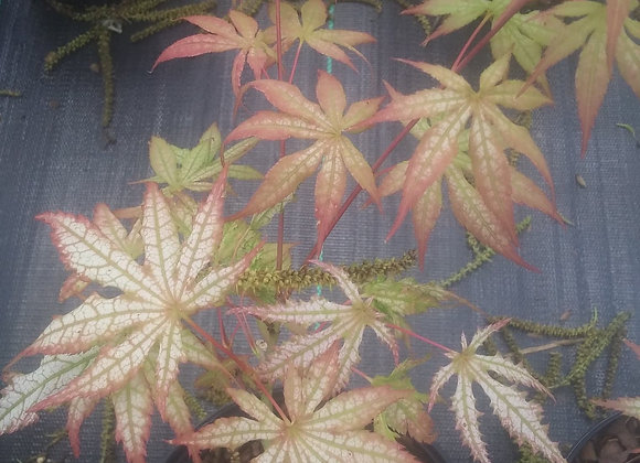 Japanese Maple 'First Ghost' Tree