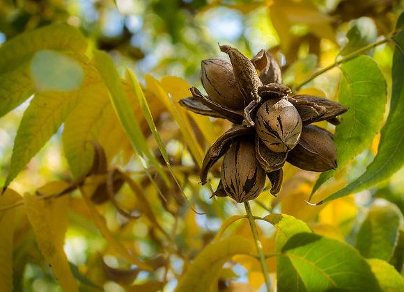 Cape Fear Pecan Tree