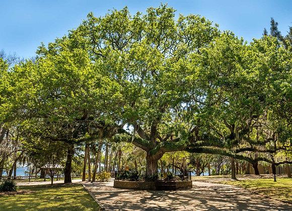 Sand Live Oak Tree