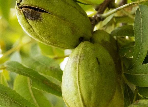 Hican Pecan Tree