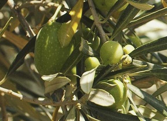 Nafplion Olive Tree (Greek)
