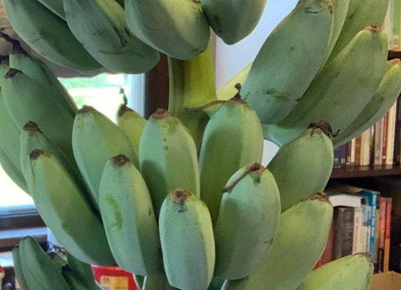 Blue Java 'Ice Cream Banana'