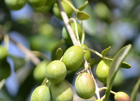 Moraiolo Olive Tree (Italian)