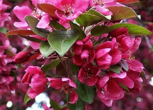 Pink Profusion Flowering Crabapple Tree