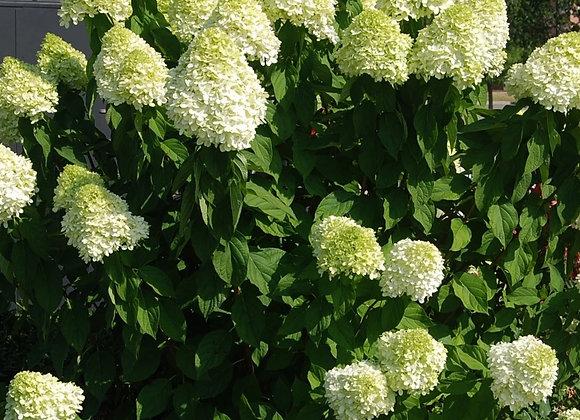 'Limelight' Hydrangea