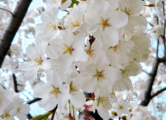 Yoshino Flowering Cherry Tree