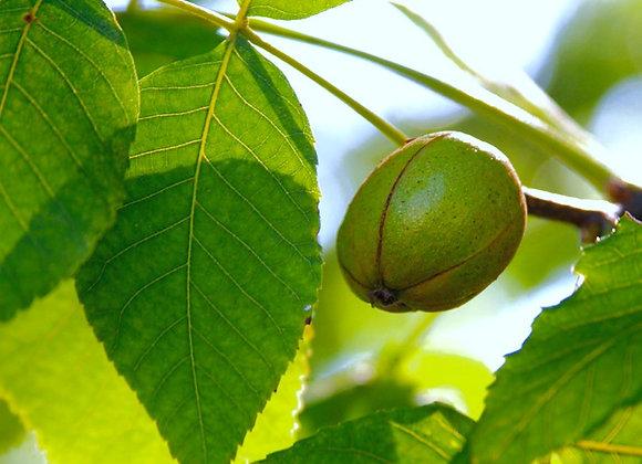 Shellbark Hickory Tree